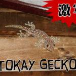 tokay_gecko001